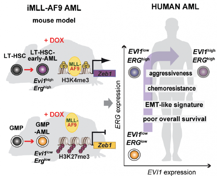 Figure 1. Modeling of MLL-AF9-driven AML with a different cellular origin in mice revealed striking similarities with the human disease